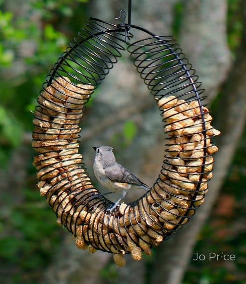 birds -titmouse1a