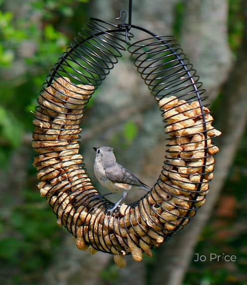 birds -titmouse1a