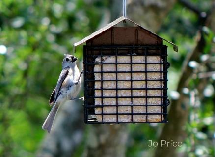 birds -titmouse2