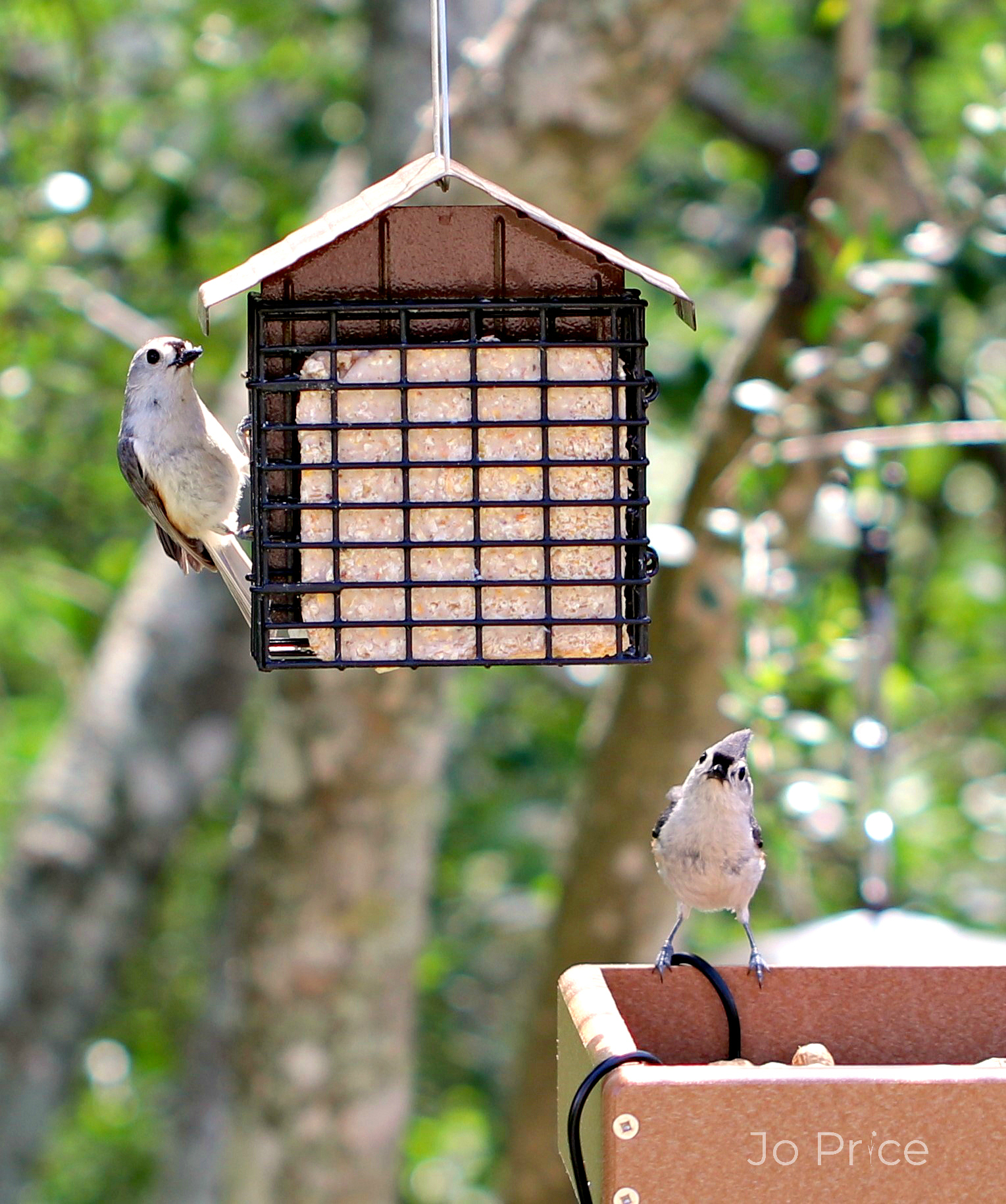 birds - titmouses not titmice a