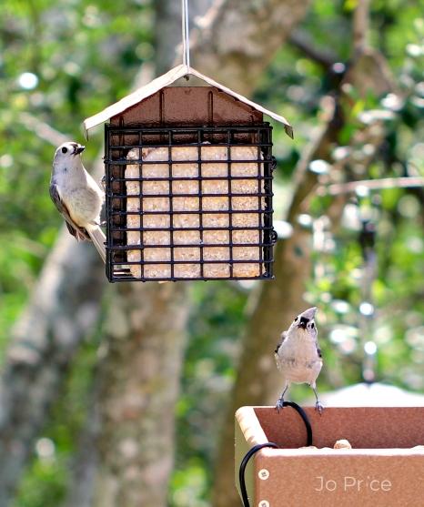 birds - titmouses not titmice a